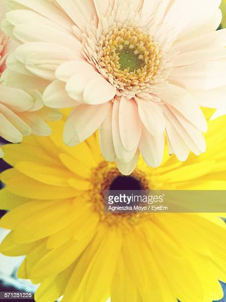 Cropped Fresh Gerbera Daisies In Garden