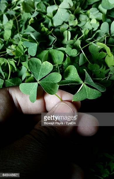 Cropped Hand Holding Green Clover Leaves