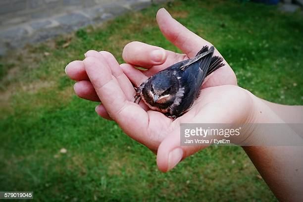Cropped Hand Holding Young Swallow