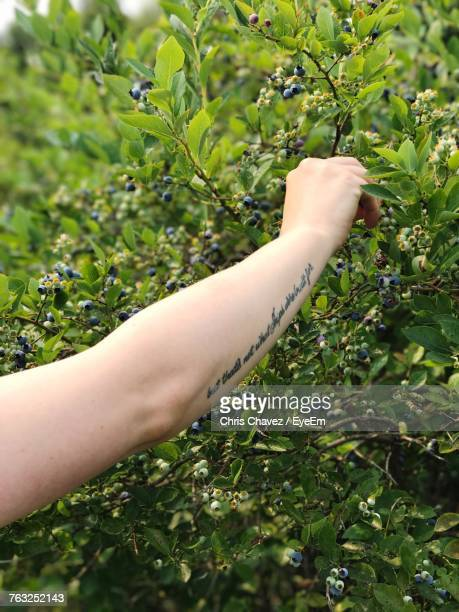 Cropped Hand Of Mid Adult Woman With Tattoo Picking Fruit From Tree