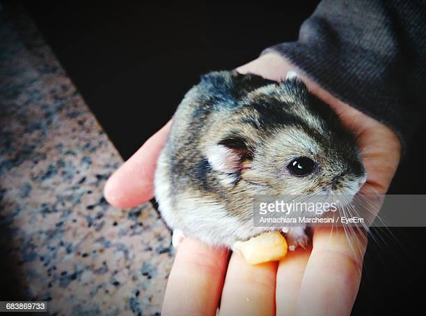 Cropped Hand Of Person Holding Chinchilla