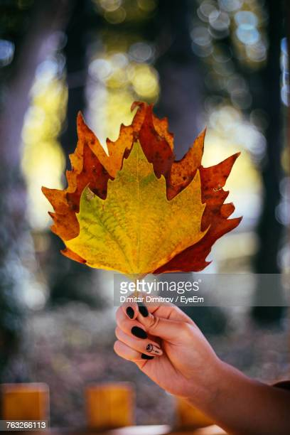 Cropped Hand Of Woman Holding Maple Leaf During Autumn