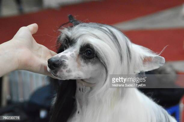 Cropped Hand Touching Chihuahua At Dog Show