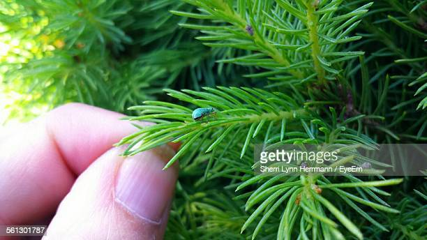 Cropped Hand Touching Pine Needle