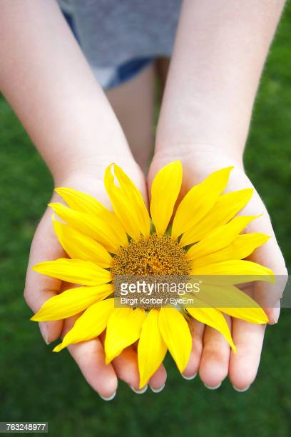 Cropped Hands Of Girl Holding Sunflower At Park