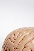 Cropped human brain