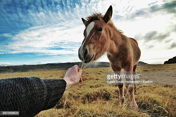 Cropped Image Of Hand Feeding Horse On Field Against Sky