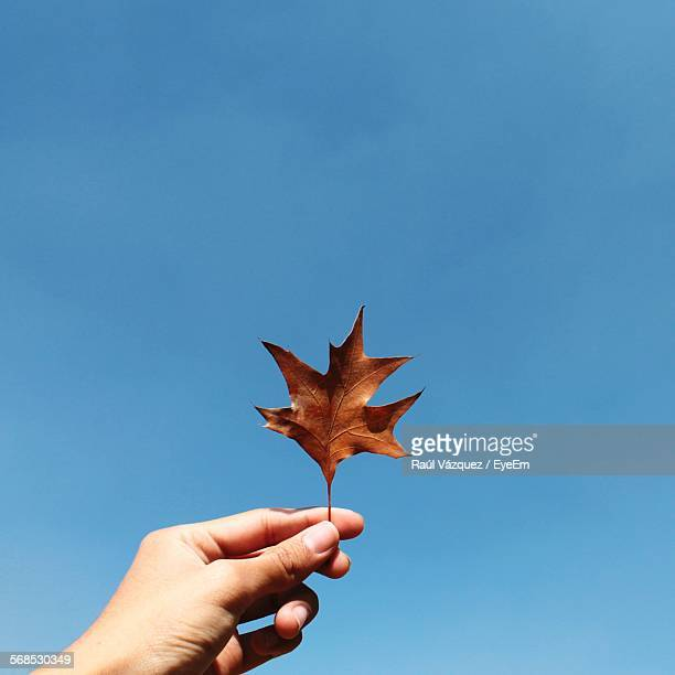 Cropped Image Of Hand Holding Dry Maple Leaf