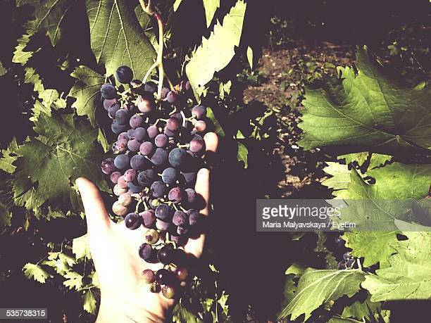 Cropped Image Of Hand Holding Grapes On Sunny Day