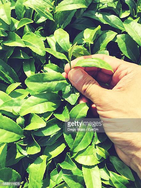 Cropped Image Of Hand Picking Green Tea Leaves
