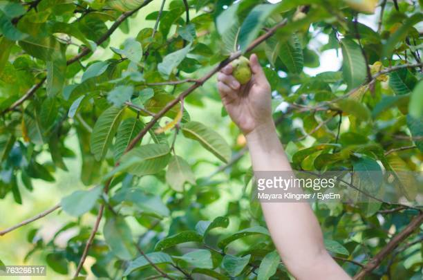 Cropped Image Of Hand Plucking Fruit From Tree