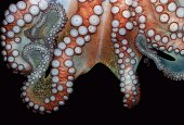 Cropped image of octopus swimming in sea