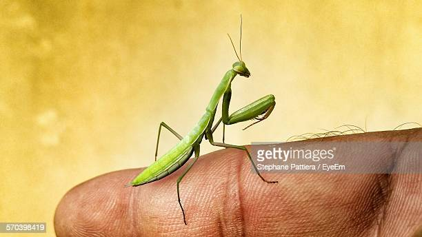 Cropped Image Of Person Holding Mantis On Finger