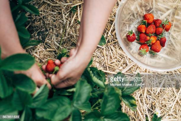 Cropped Image Of Person Picking Strawberries In Bowl At Field