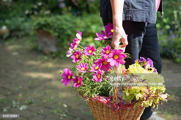 Cropped image of senior man in garden with basket of flowers and lettuce
