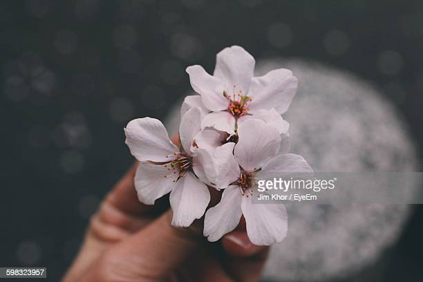 Cropped Image Of Woman Hand Holding Cherry Blossoms