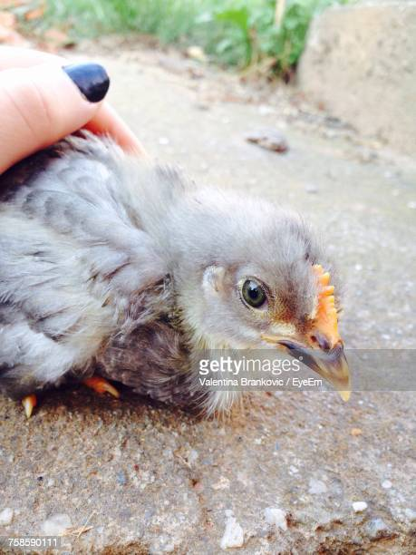 Cropped Image Of Woman Hand Stroking Baby Chicken