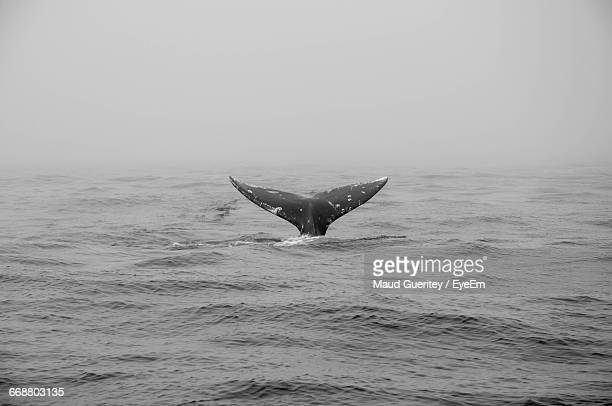 Cropped Image On Whale Tail In Sea During Foggy Weather