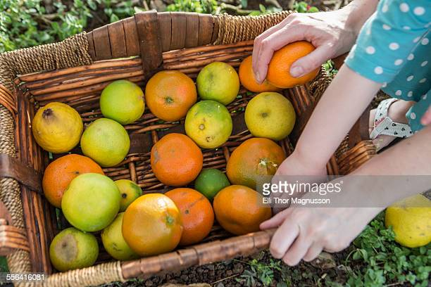 Cropped shot of mother and toddler daughters hands on basket of harvested oranges