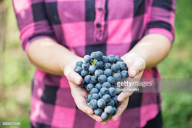 Cropped shot of young woman holding bunch of grapes, Premosello, Verbania, Piemonte, Italy
