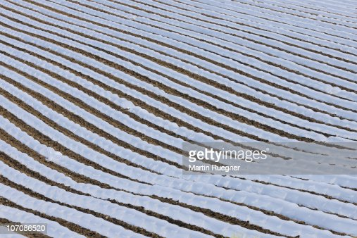 Crops being cultivated under cloches.