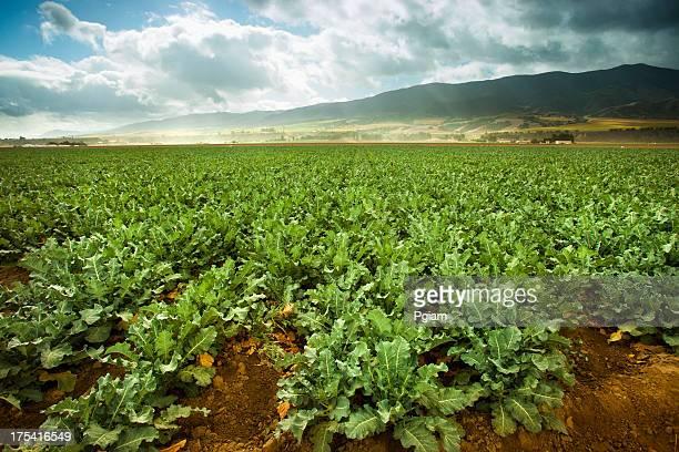 Cultures se développer sur des terres agricoles fertiles