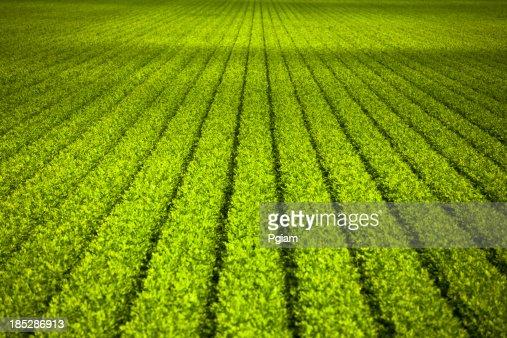 Crops grow on fertile farm land