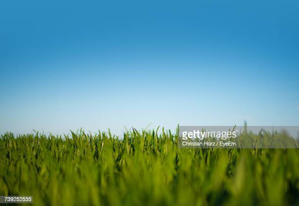 Crops Growing On Field Against Clear Sky
