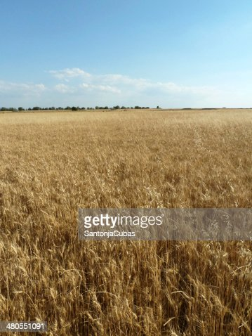 Crops : Stock Photo