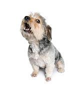Traversez la race de chien barking devant un arrière-plan blanc
