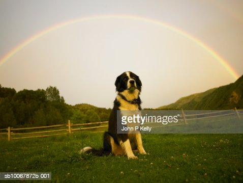 Cross of Akbash and Border Collie dog sitting on field with rainbow above