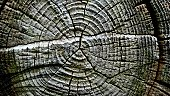 A cross section of a tree stump.