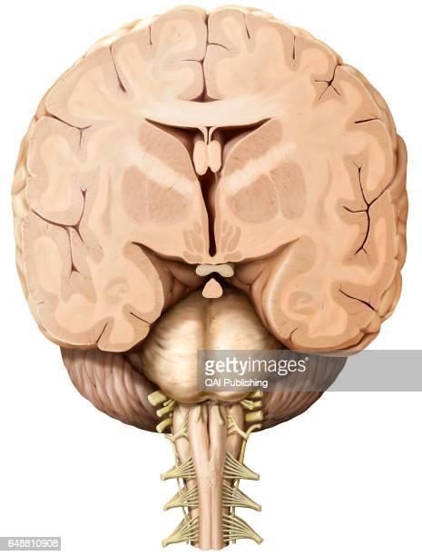 Anatomical diagrams of the brain  IMAIOS