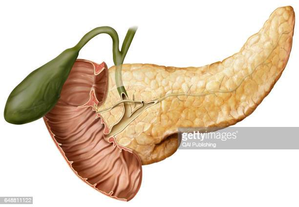Cross section of the pancreatic duct Obstruction of the pancreatic duct prevents the ejection of pancreatic juices into the duodenum