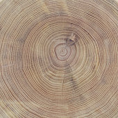 Cross section of the trunk of the acacia tree as a background or a backdrop