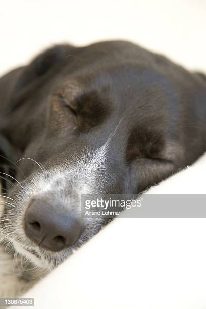Crossbreed dog, female, dozing
