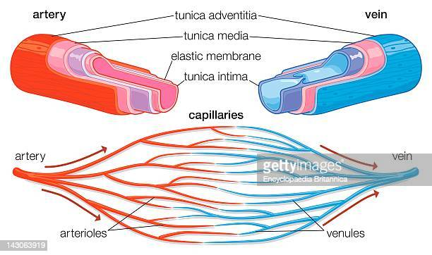 CrossSection Showing Component Parts Of Arteries And Veins