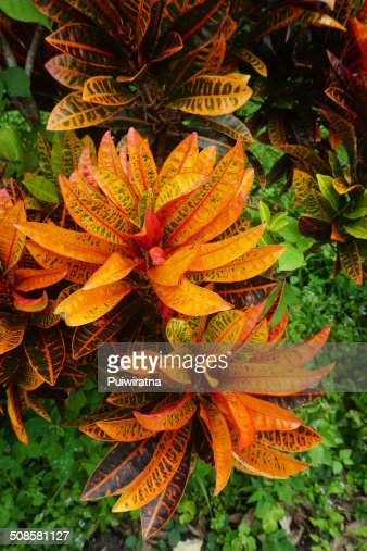 Croton plant : Stock Photo