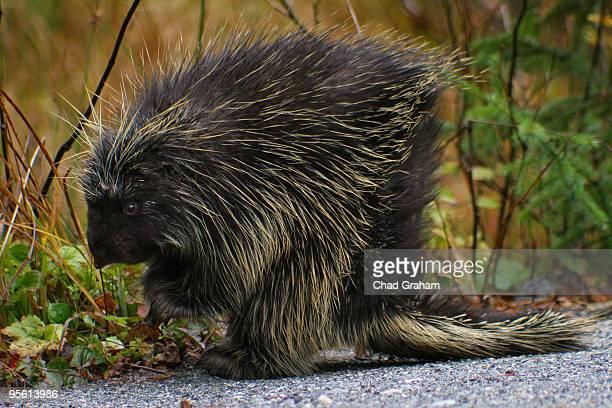 Crouching Porcupine