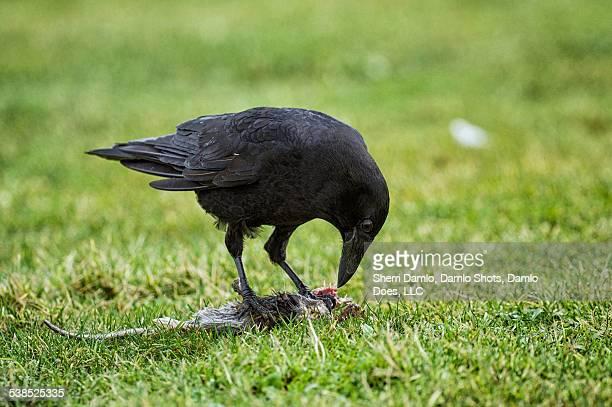 Crow eating a rat