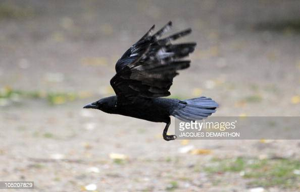 A crow flies near les Invalides in Paris on October 5 2010 AFP PHOTO/JACQUES DEMARTHON