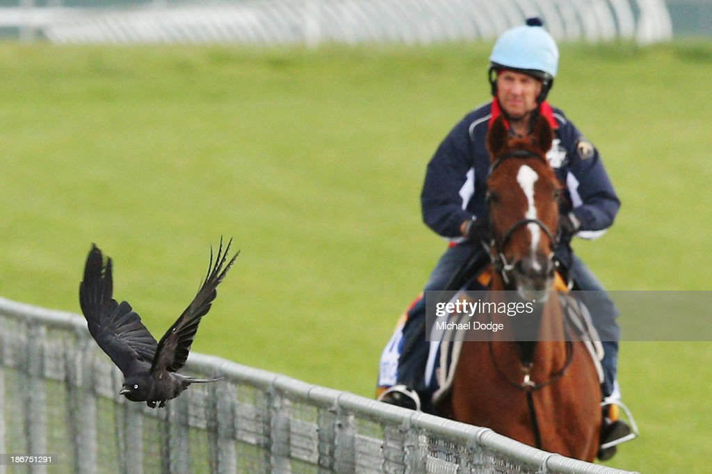 A Crow flies past Stephen Nicholson riding Red Cadeaux during trackwork ahead of the Melbourne Cup at Werribee Racecourse on November 4, 2013 in Melbourne, Australia.