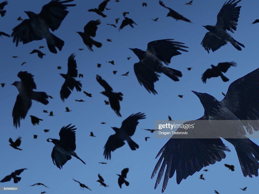 Crow flying in sky