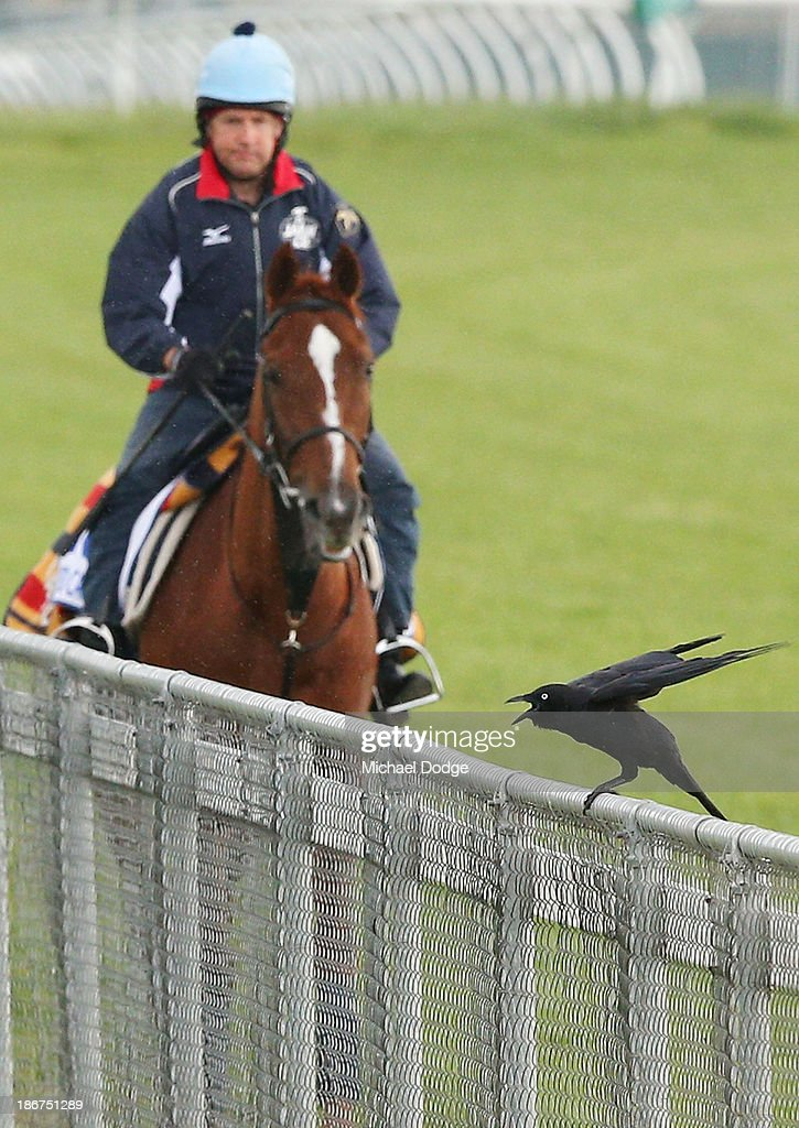 A Crow gets prepared to fly away from Stephen Nicholson riding Red Cadeaux during trackwork ahead of the Melbourne Cup at Werribee Racecourse on November 4, 2013 in Melbourne, Australia.