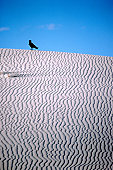 Crow on ribbed sand-dune