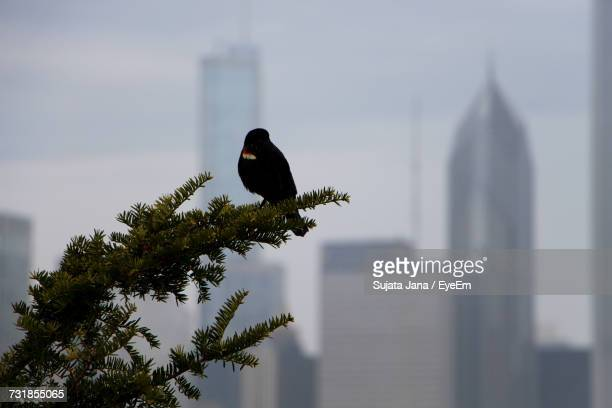 Crow Perching On Tree Against Sky In City