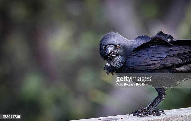 Crow Perching On Wooden Plank