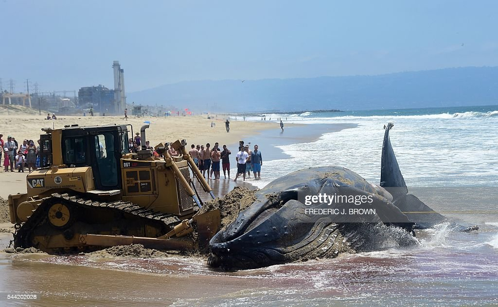 A crowd gathers at Dockweiler State Beach in Playa Del Rey, California on July 1, 2016, to watch as a dead humpback whale which washed on shore the previous night being pulled out to sea. With the scent of the rotting dead whale permeating the air at the beach, workers are attempting to quickly remove the deceased before thousands of beachgoers are expected at Southern California beaches for the July 4th weekend. / AFP / Frederic J. BROWN