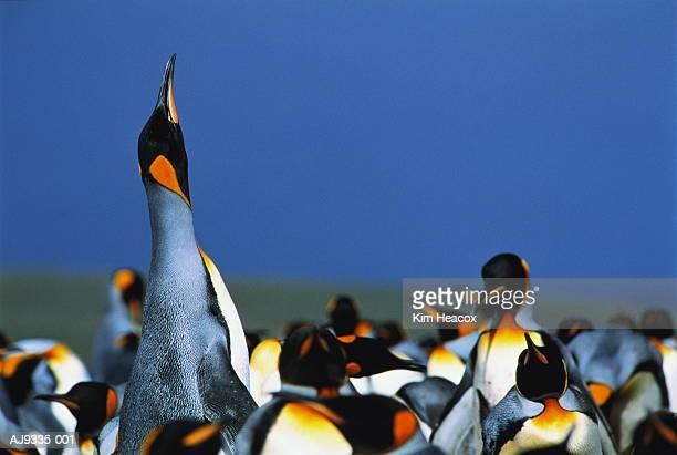Crowd of King penguins (Aptenodytes patagonicus), FI