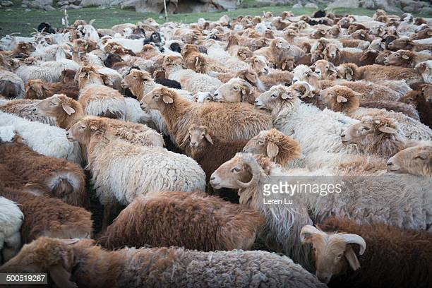 Crowd of sheep standing in temporary sheepfold